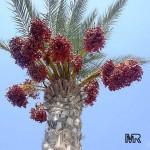 sejarah pohon kurma