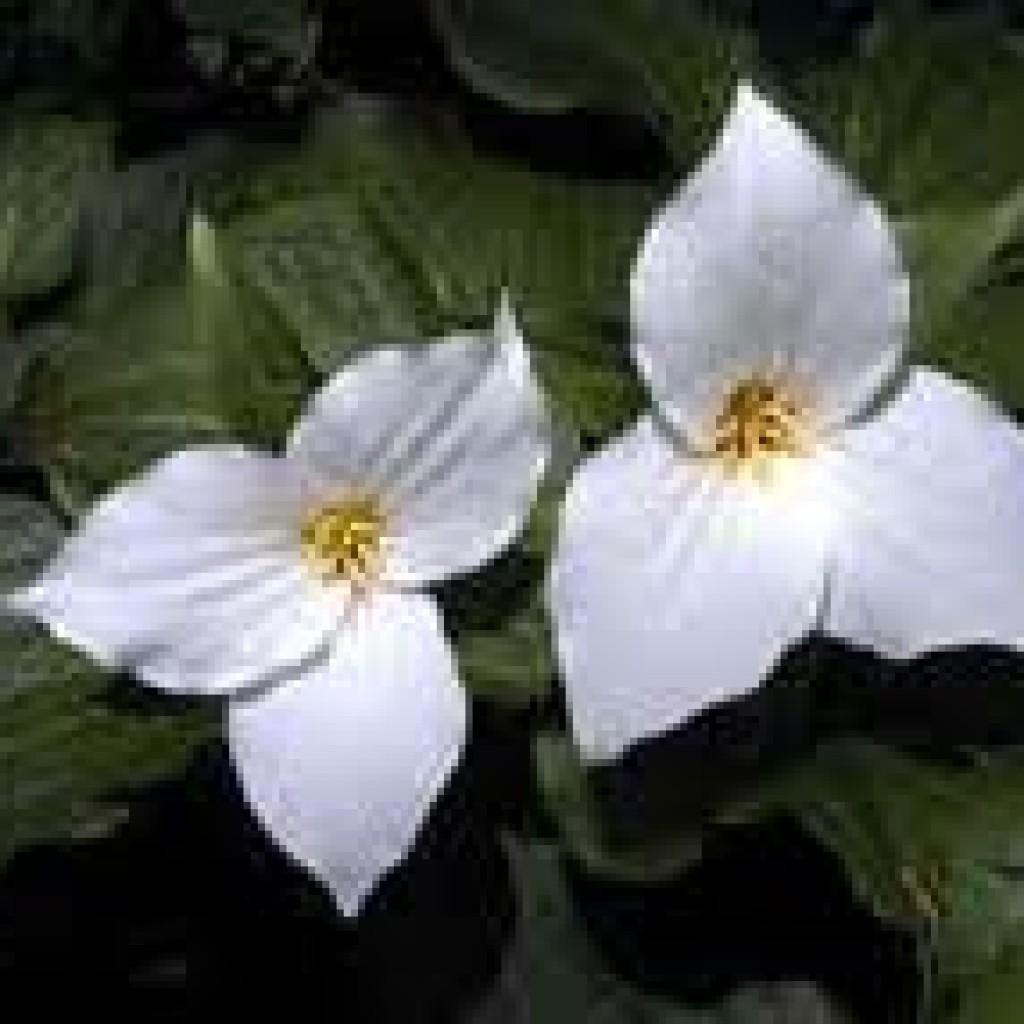 bunga fibonacci 1