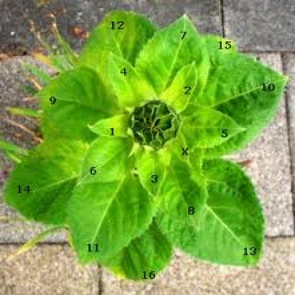 bunga fibonacci 2