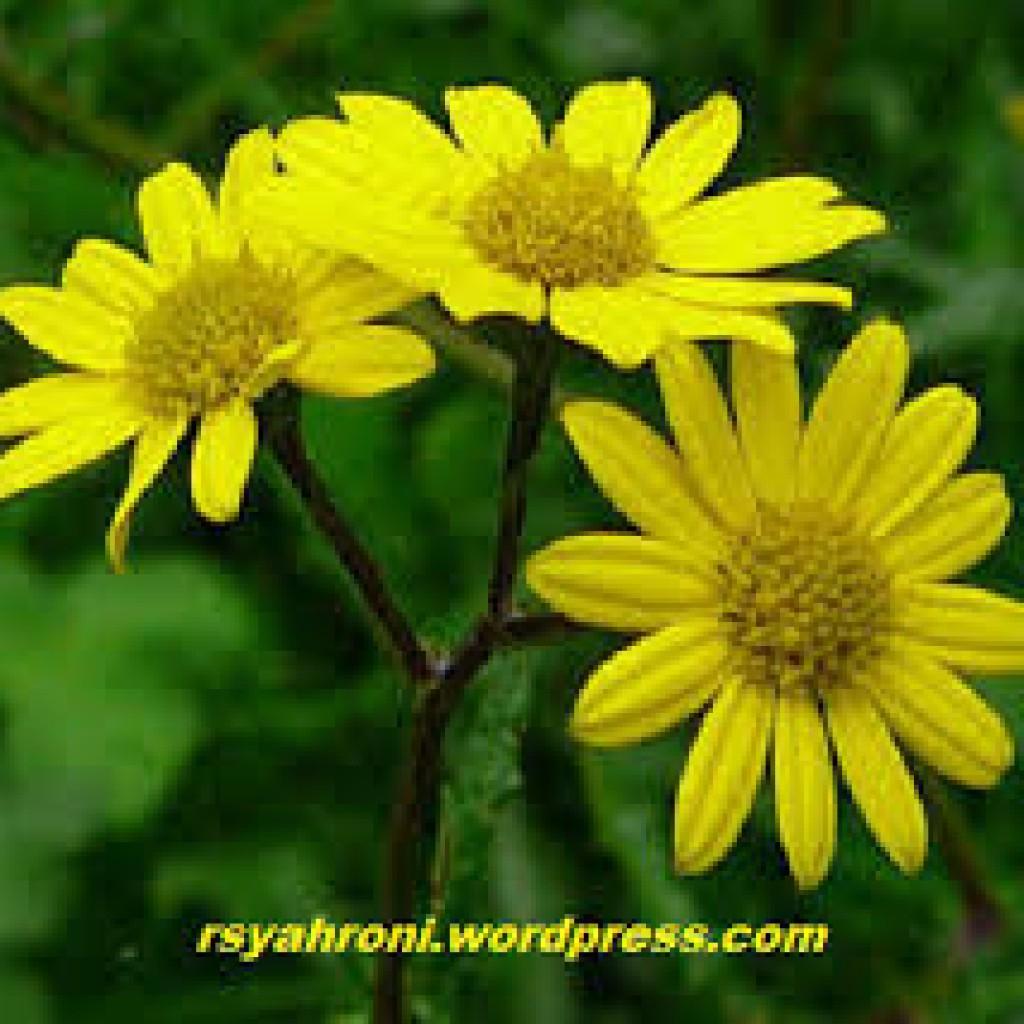 bunga fibonacci 3