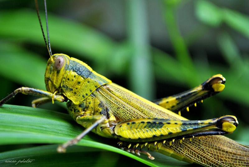 mukjizat belalang