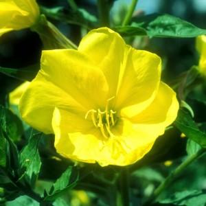 Bunga Adzan